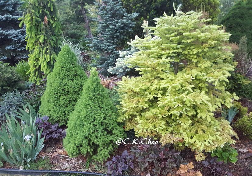 Ornamental Conifers Garden Canadensis